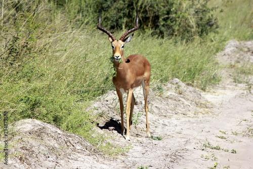 Foto op Aluminium Antilope Botswana Tiere Natur