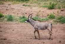 Roan Antelope Walking In Savan...