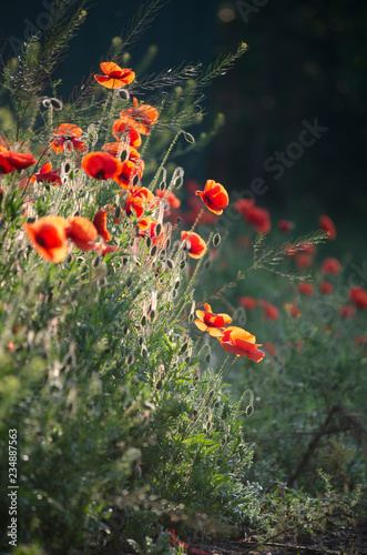 poppy field of red poppies