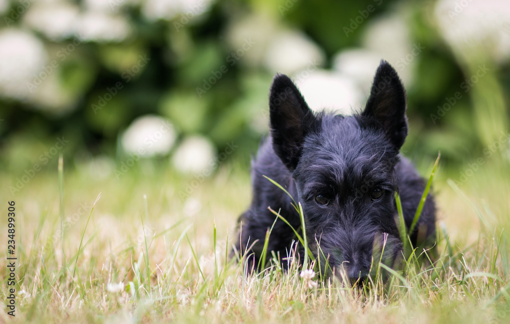 Fototapeta Black scottish terrier puppy posing outside at summer. Young and cute terrier baby.