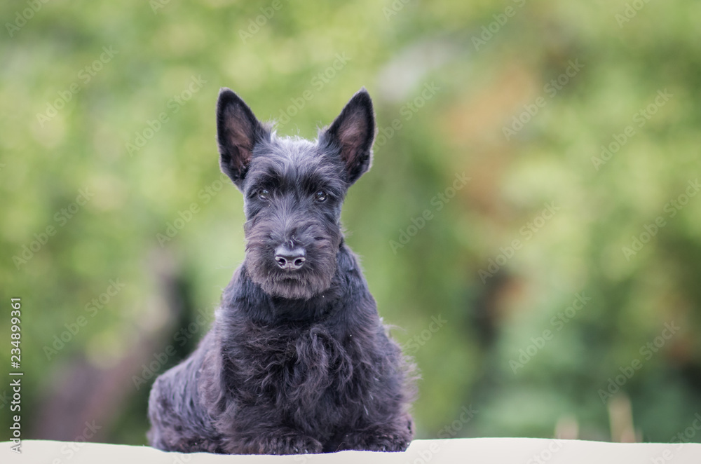 Fototapety, obrazy: Black scottish terrier puppy posing outside at summer. Young and cute terrier baby.