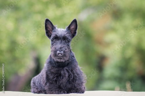 Obraz Black scottish terrier puppy posing outside at summer. Young and cute terrier baby. - fototapety do salonu