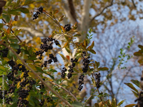 Fotografie, Obraz  Wild Berries going at the base of a large Sycamore tree