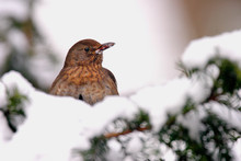 Single Female Blackbird Bird On A Tree Branch During A Winter Period