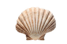 Sea Shell Isolated On White Background With Copy Space For Your Text