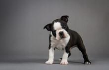 Boston Terrier Puppy Posing In Grey Studio Background.
