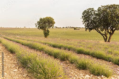 Fotografie, Obraz  Vista de un campo de lavanda.