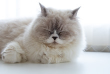 Persian Cat Sleeping On White Table