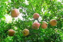 Ripening Pomegranates On Tree