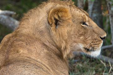 Löwin, Seitenansicht