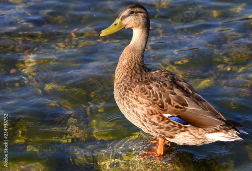 Auf einem Stein im Wasser stehende Ente