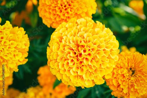 Photo Flower marigold on natural background