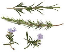 A Collection Of Rosemary Leaves Isolated On A White Background