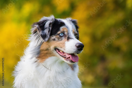 Carta da parati Australian shepherd dog outside in beautiful colorful autumn.