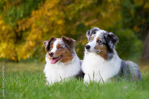 Obraz na plátne Australian shepherd dog outside in beautiful colorful autumn.