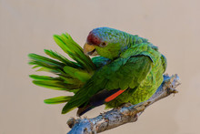Lilac-crowned Amazon Parrot Grooming Feathers