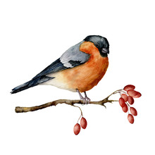 Watercolor Bullfinch Sitting On Tree Branch With Berries. Hand Painted Winter Illustration With Bird And Dog Rose Berries Isolated On White Background.  Holiday Print For Design. Christmas Card