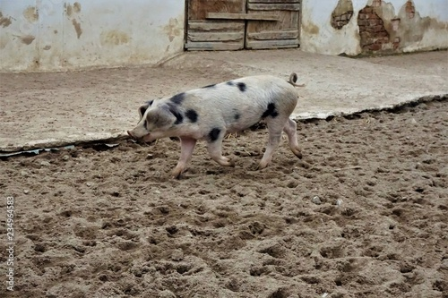 Foto  Young Bentheim black pied pig walking in the sand