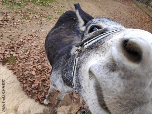 Donkey coming very close to the camera on farm