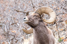 Bighorn Sheep Ram Close Up