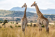 canvas print picture - Giraffes in Pilanesberg National Park in South Africa