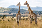 Giraffes in Pilanesberg National Park in South Africa