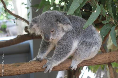 Canvas Prints Koala Koala in Australien