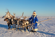 Christmas Card. Santa Claus Are Near His Reindeers In Harness. Russian Santa Claus (Grandfather Frost), Reindeer Team On A Sleigh