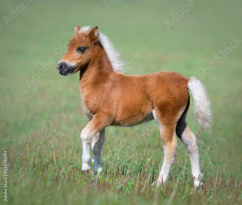 Canvas-taulu Miniature foal on green field.