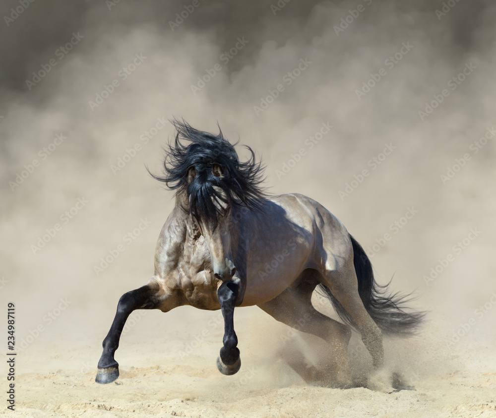 Golden dun Purebred Andalusian horse playing on sand.