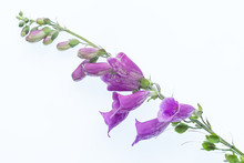 Foxgloves Purple Ona Lightbox And White Background