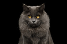 Portrait Of Furry Gray Cat Gaz...