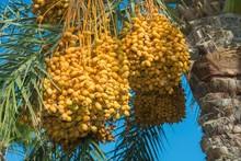 Ripe Yellow Fruits Dates On Date Palm (Phoenix Dactylifera), Egypt, Africa