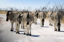 Zebras Walking On The Park Road Of The Etosha Pan, National Park, Namibia, Africa