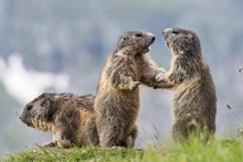 Two Marmots (Marmota Marmota),...