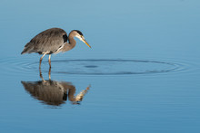 Great Blue Heron Wading In Calm Water Hunting For A Meal, Full Reflection, Skagit Valley, Washington, USA