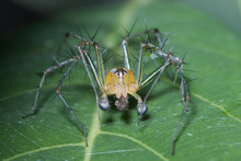 Lynx Spider Feeding On Small I...