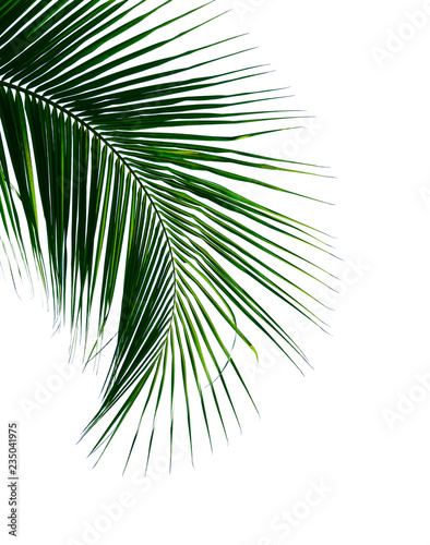 Canvas Prints Palm tree tropical coconut palm leaf isolated on white background