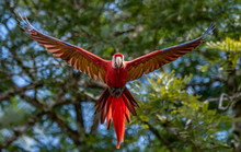 Scarlet Macaw In Costa Rica