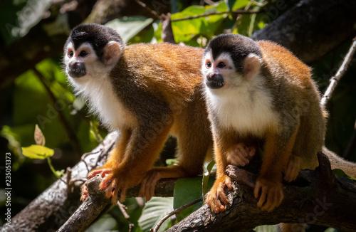 Foto op Aluminium Aap Squirrel Monkey in Costa Rica