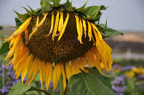 Fotomural close-up of a wilting sunflower