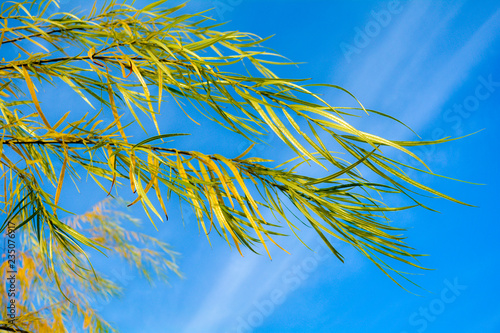 Fotografija Branches of weeping willow tree falling down in park on blue sky
