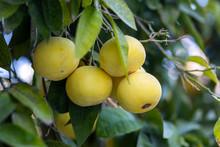 Grapefruit Growing On Tree,