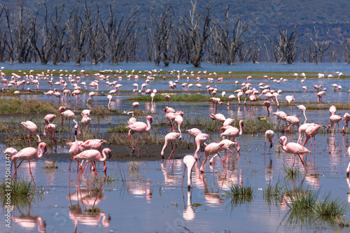 Lake Nakuru Nationalpark: Flamingos