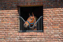 Horse With His Head Out Of A Brick Barn Windows
