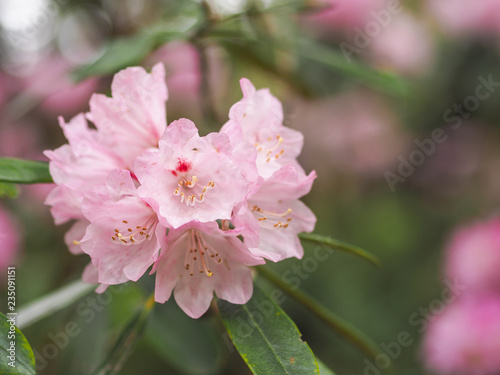Tuinposter Azalea flowers of tree in spring