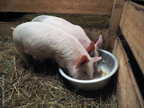 pigs eat feed from the pelvis in a village pigsty