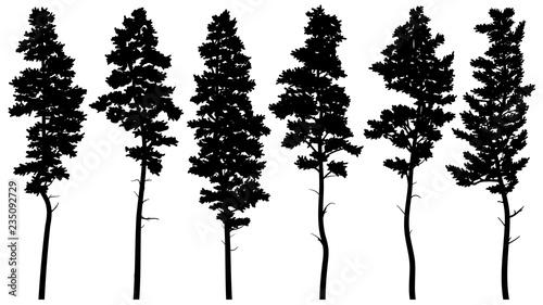 Fotografia, Obraz  Silhouettes of tall pine trees (cedar).