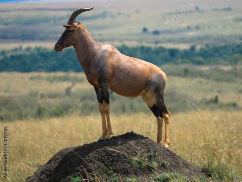 Photo Stands Antelope Topi-Antilope auf Erdhügel