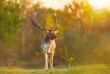 Fallow Deer Stag Dama Dama Autumn Sunset